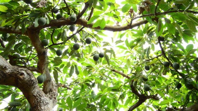Avocado hass fruit in tree Avocado hass fruit in tree avocado stock videos & royalty-free footage