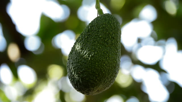 Avocado hass hanging in branch of tree video