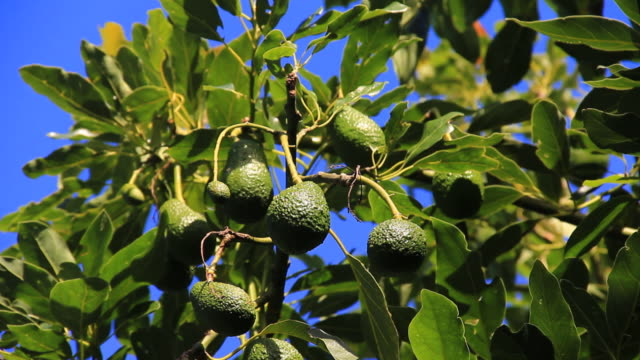 Avocado tree video