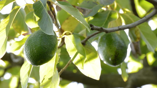 Avocados hanging at branch of a avocado tree Avocados bacon fruit hanging at branch of a avocado tree bacon stock videos & royalty-free footage