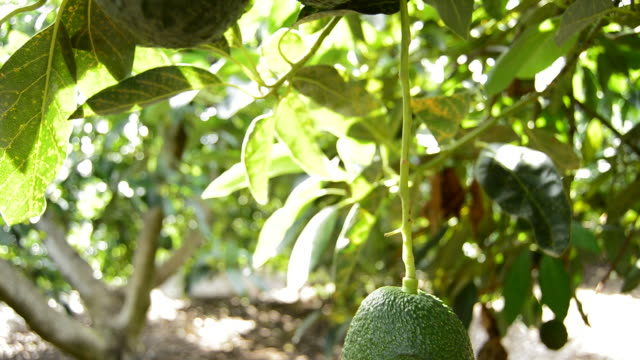 Avocados hass fruit hanging at branch of tree video