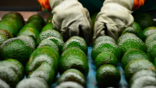 Avocados hass rolling in packaging line Avocados hass rolling in packaging line avocado stock videos & royalty-free footage