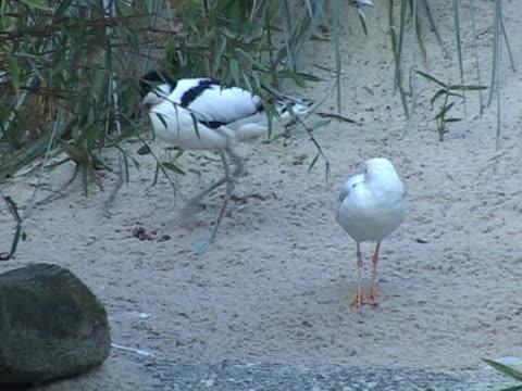 ntsc: säbelschnäbler 1 (recurvirostra avosetta - verbogen stock-videos und b-roll-filmmaterial