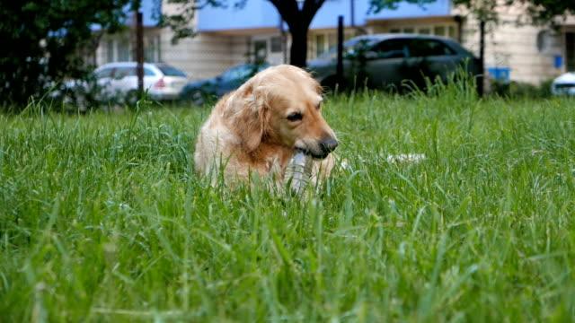 fantastico cane da riporto dorato da masticare watter bottiglia di plastica - cane addestrato video stock e b–roll