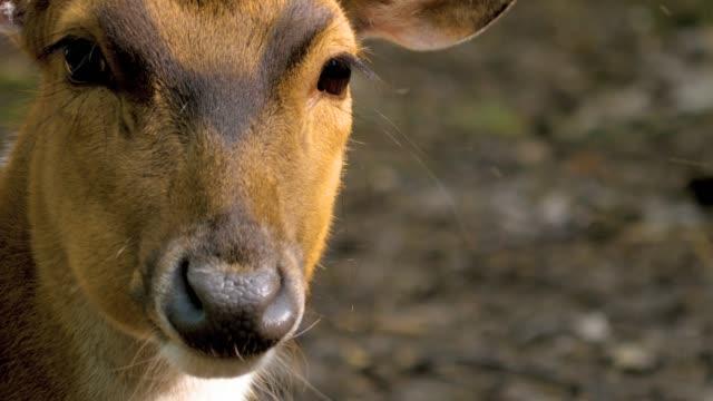 asse cervo masticare, poi si gira a destra-da vicino - fauna selvatica video stock e b–roll