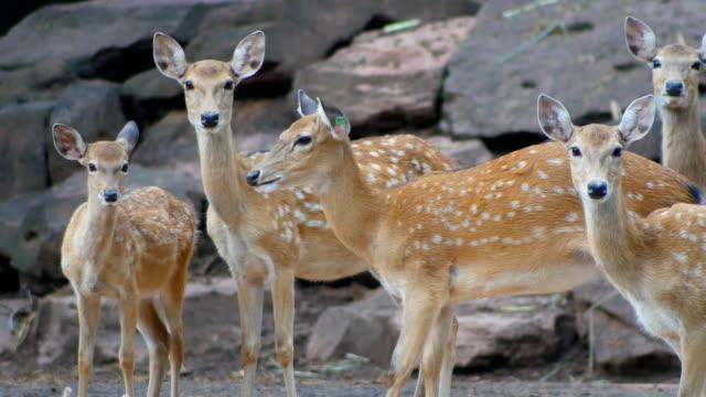 4 k kameraya bakarak eksen geyik sürüsü - benekli geyik stok videoları ve detay görüntü çekimi