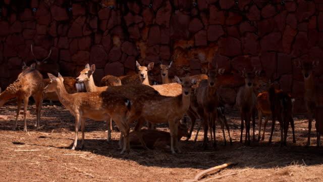 eksen geyik sürüsü - benekli geyik stok videoları ve detay görüntü çekimi