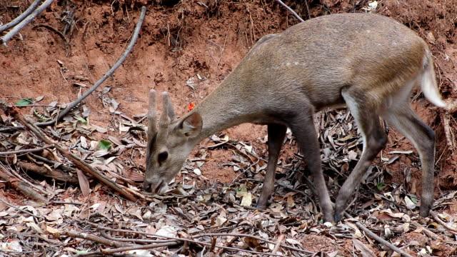 eksen geyik doğada - benekli geyik stok videoları ve detay görüntü çekimi