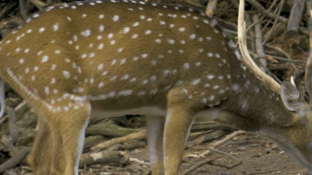 eksen geyik bir u dönüşü yapar - benekli geyik stok videoları ve detay görüntü çekimi