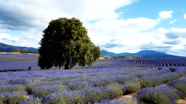 Video 3 axis gimbal shot walking at a lavender farm in tasmania