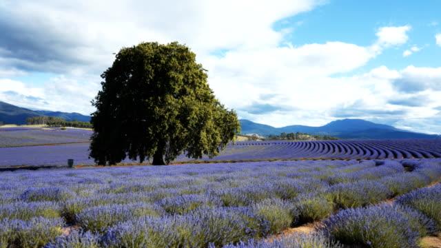 vídeos de stock e filmes b-roll de 3 axis gimbal shot walking at a lavender farm in tasmania - lavanda planta