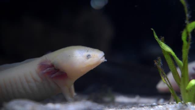 axolotl mexican walking fish ambystoma mexicanum na piaszczystym dnie akwarium - gad filmów i materiałów b-roll
