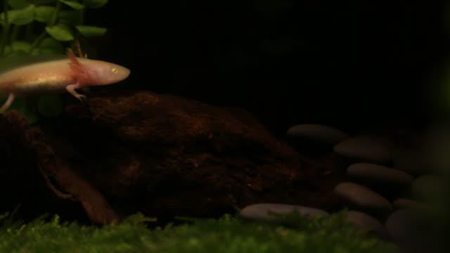 ambystoma meksykańska salamander-ambystoma mexicanum, swim - spoiler filmów i materiałów b-roll