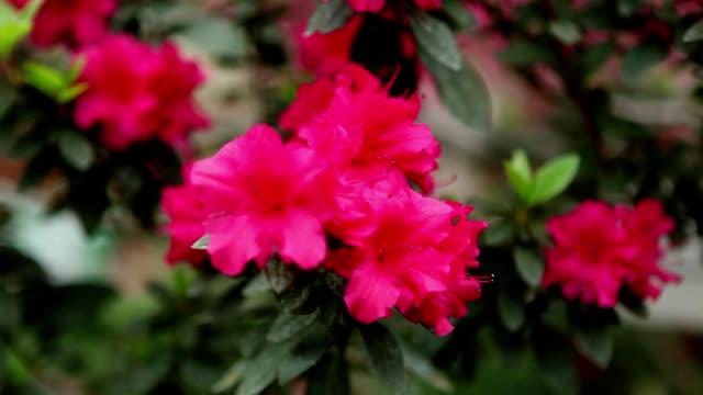 azaleas little red flower on a thin branch change focus close up - pistillo video stock e b–roll