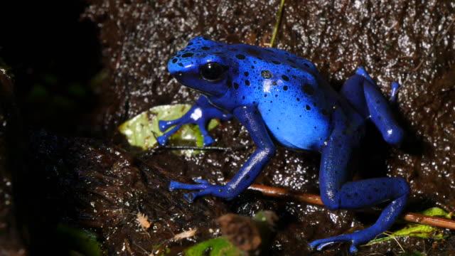 azureus dendrobates tinctotius blauer pfeilgiftfrosch - giftstoff stock-videos und b-roll-filmmaterial