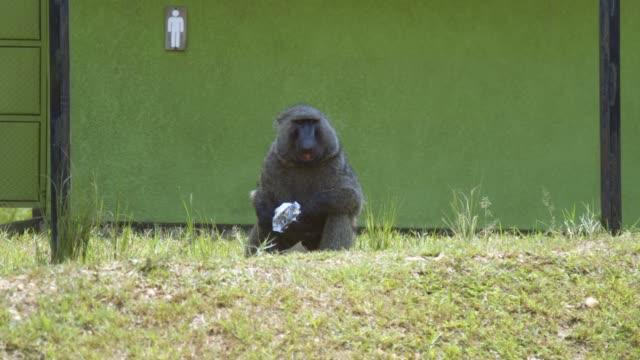 Baboon Eating Crackers