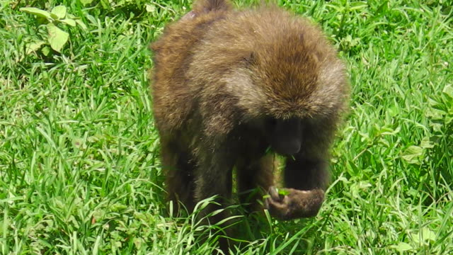 baboon eating in the grass