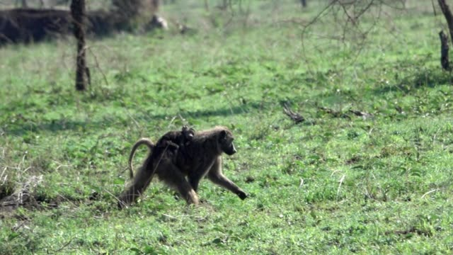 Baboon Mother Carr;ing Baby In Savana of the Serengeti Tanzania, Africa video