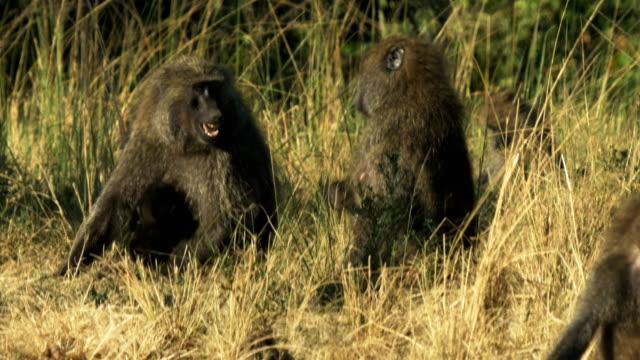 baboon troop in masai mara game reserve, kenya