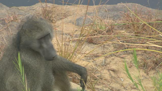 Baboon, video