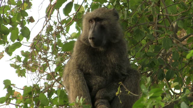 Baboon video