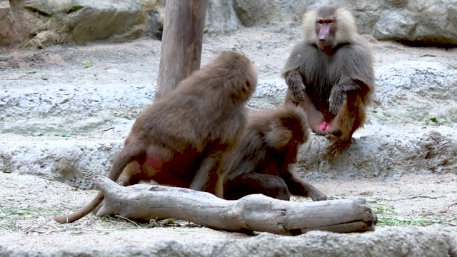 Baboons playing and fighting with each other video