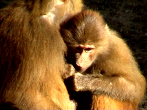 baboons sitzbereich - aquarium oder zoo stock-videos und b-roll-filmmaterial