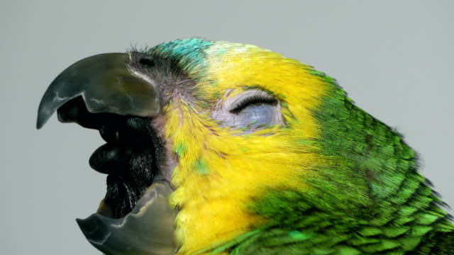 Baby amazon parrot Yawning baby amazon parrot yawning stock videos & royalty-free footage