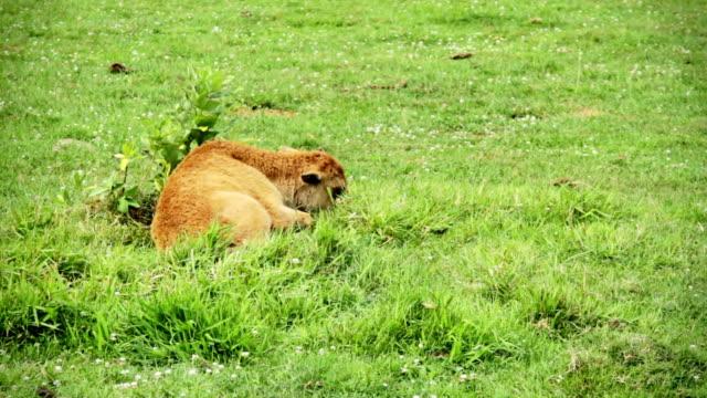 baby american bison lying down alone during a hot day - single pampas grass bildbanksvideor och videomaterial från bakom kulisserna
