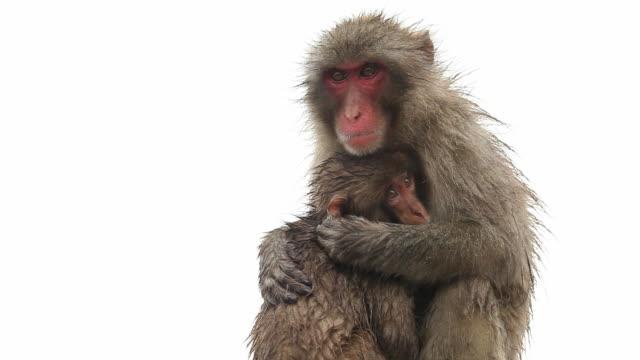 baby and mother snow monkeys - primat bildbanksvideor och videomaterial från bakom kulisserna
