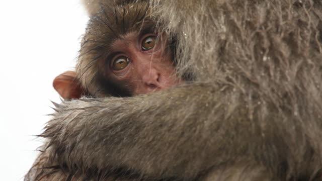 baby and mother snow monkeys - makak maymunu stok videoları ve detay görüntü çekimi