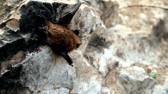 Baby Bat Escaping to daylight Close up shot video
