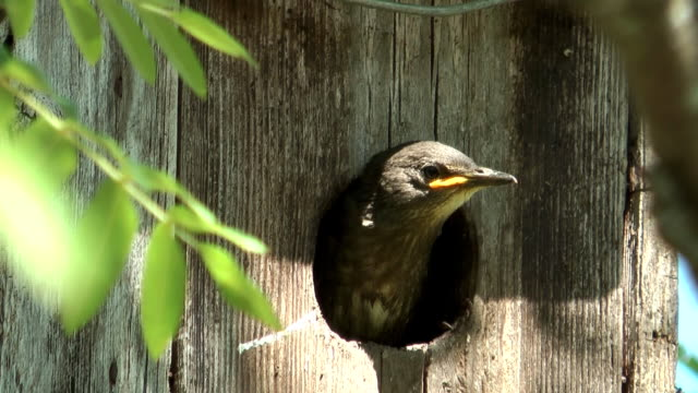 Baby bird of a starling. video