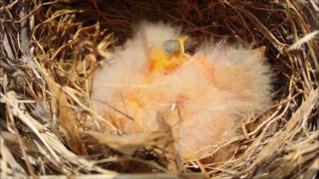 yavru kuşlar yuvada yiyecek beklerler. - ihsangercelman stok videoları ve detay görüntü çekimi