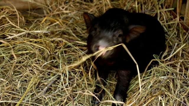 赤ちゃん黒豚農場 - 子豚点の映像素材/bロール
