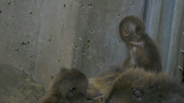A baby bleeding heart monkey jumping around video
