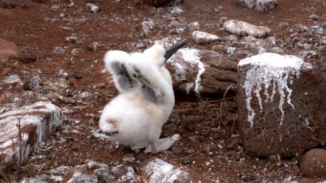 vídeos de stock, filmes e b-roll de baby blue footed booby abre suas asas - atobá