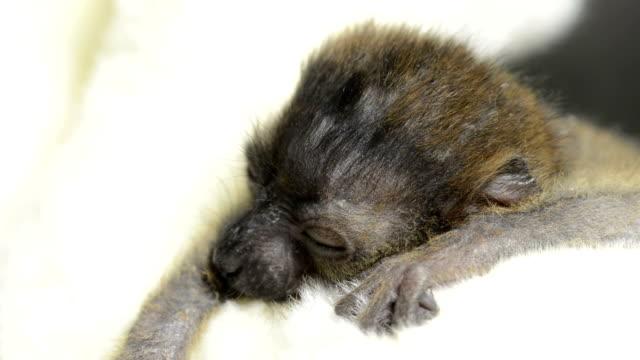 Baby Blue-eyed black lemur (20 days old) waking up video