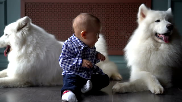 Baby boy and two big white fluffy guard dogs video