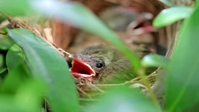 Baby Brown Prinia bird in nest video