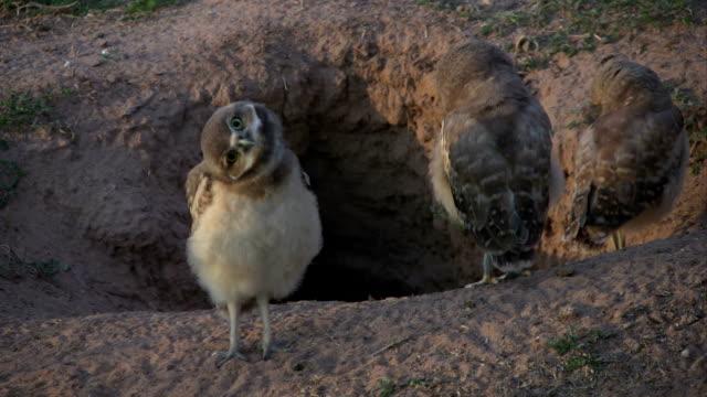 stockvideo's en b-roll-footage met baby burrowing owl turns head upside-down - uil