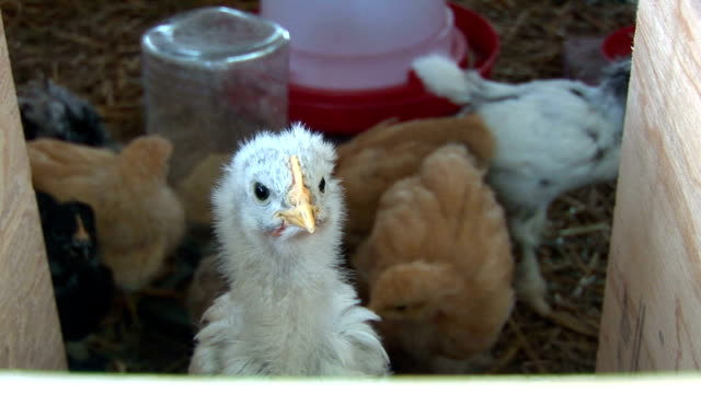 Baby Chick Checks Out The New World Stock Video & More Clips
