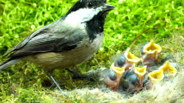 Baby chickadee meal time day 7 video