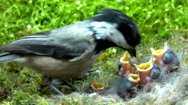 Baby chickadee quick meal video
