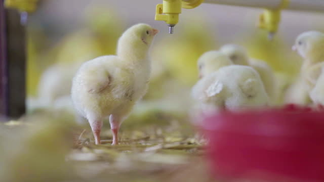 Baby chicken at the farm drinking water video