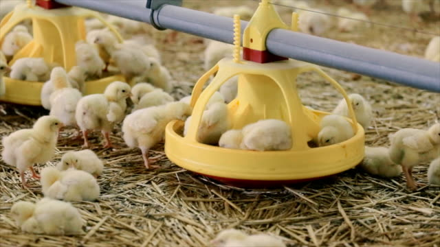 baby chicken at the farm - farm animals stock videos and b-roll footage