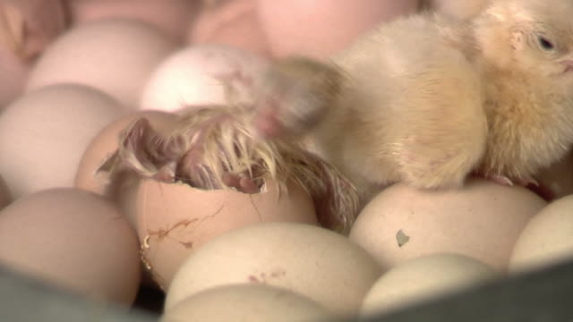 Baby Chicken Borning  new life stock videos & royalty-free footage