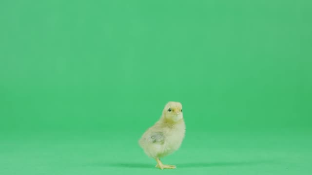 4K Baby Chicken on a green screen