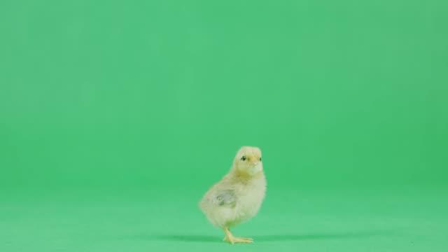 4k baby chicken na zielonym ekranie - młody ptak filmów i materiałów b-roll