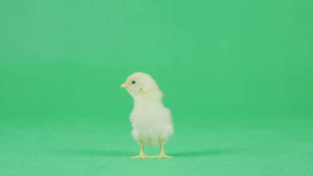 4K CU Baby Chicken on a green screen